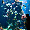 A lone figure watches intently the fishes at the Steinhart Aquarium at San Francisco Academy of Sciences.