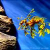 A Leafy Sea Dragon.